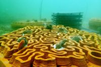 Enlarge Photo: Reformative Coral Habitats | Reef Tiles 17