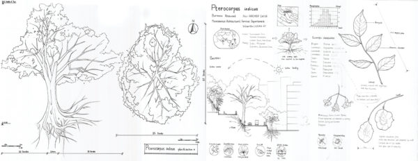 Pterocarpus indicus plan and section. By CHEN Zhouying.