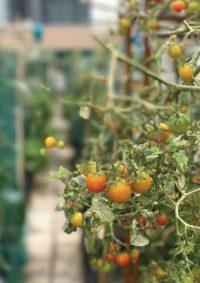 Rethinking the potential of Urban Rooftop Farming: Valuing social benefits in Hong Kong. By WANG Ting Sarah.